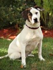 Meet Biscuit, a 10 month old male Australian Cattle Dog/Bassett Hound Mix available for adoption