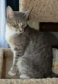 Miss Kitty is a 1 year old female domestic shorthair cat available for adoption