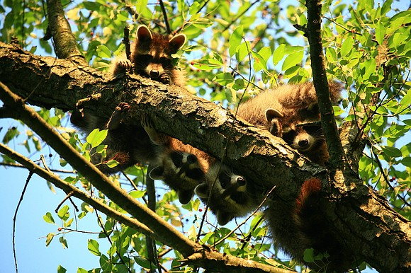 Young raccoons cavorting on a tree branch upped the cuteness quotient in the Forest Preserve District of Will County's Preserve ...