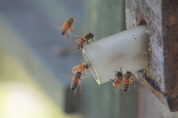 The Forest Preserve District of Will County is expanding its beginning beekeeping program from one session to six in an ...