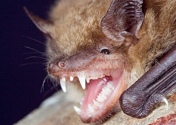 Thetimeweekly.com A captured bat has tested positive for rabies after being trapped inside a washing machine, at a home in ...