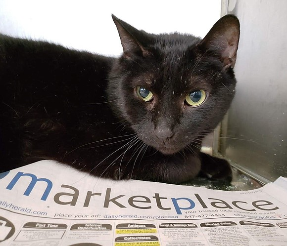 JET Jet is a big boy who is quiet, lovable and likes people. He's a cool cat who likes to ...