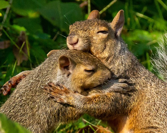 A mother and baby fox squirrel caught in an embrace won the hearts of judges as well as top honors ...