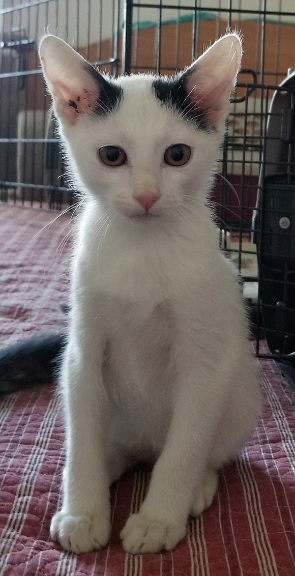 CISCO Cisco is a very sweet and active little kitten. He has lots of fun romping and playing, especially with ...