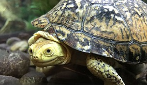 """The Forest Preserve District of Will County will host a """"Turtles Rock"""" program in celebration of World Turtle Day on May 23 at Isle a la Cache Museum in Romeoville. Participants will use the site's resident Blanding's turtles as models to paint turtle-inspired kindness rocks. (Photo by Forest Preserve staff/Chad Merda)"""