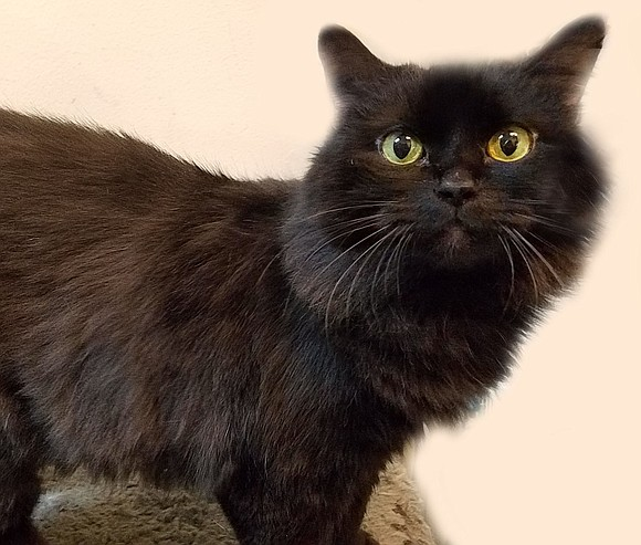 MANDY Mandy is a bundle of love that enjoys lap time, playtime and catnip. This sweet, gentle girl is friendly ...
