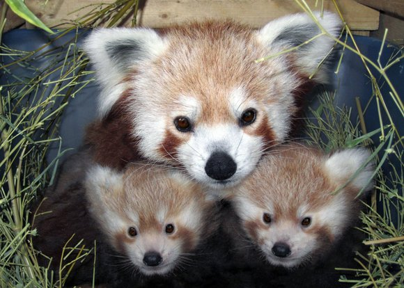 What do NSA leaker Edward Snowden and a red panda at the National Zoo in Washington have in common? Absolutely ...