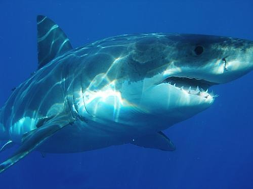 A German tourist was in critical condition after a shark severed her right arm while she snorkeled in Hawaii on ...