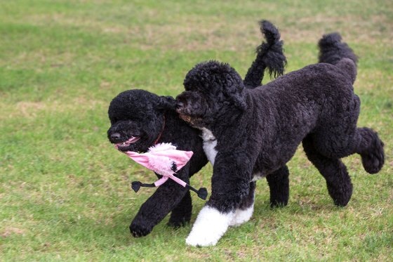 Sunny, left, and Bo, the Obama family dogs, play on the South Lawn of the White House, Aug. 19, 2013.