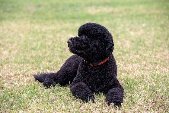 Sunny, the new Obama family dog, on the South Lawn of the White House, Aug. 19, 2013.