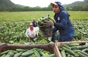 Migrant farm workers picking cucumbers.