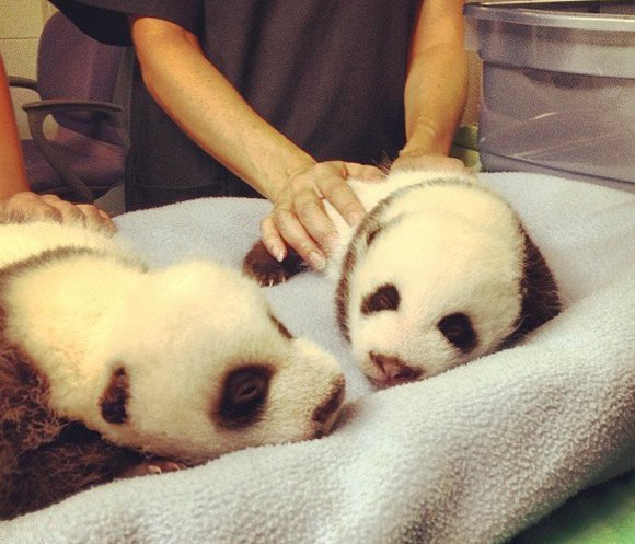 Giant panda twins from the Zoo Atlanta turn one month old. The giant panda twins were born to Lun Lun on July 15. If you want to see more of these lovable pandas, visit the zoo's webcam at  http://www.zooatlanta.org/home/panda_cam.
