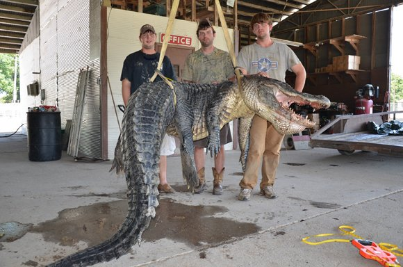 One hour later Flynt certified another alligator that was taken in by the hunting party of Dustin Bockman of Vicksburg, MS. Their gator was taken in the MS River near the Big Black River in Claiborne County. It was 13 feet 4.5 inches and weighed 727.0 pounds. Its belly girth measured 67 inches and its tail measured 45.5 inches in girth. The Bockman hunting party's alligator is now the current weight record for an alligator taken by a MS Hunter in a MS alligator hunting season.
