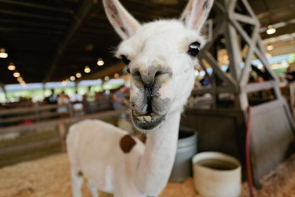 You have until September 29, 2013 to visit the Llamas in Fairview Farms at the Los Angeles County Fair.