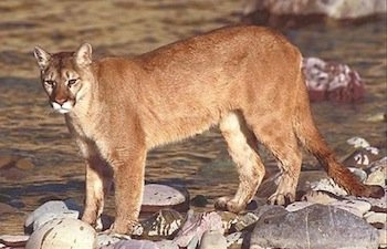 Police said they have received reports of a mountain lion roaming the streets of Southeast D.C., according to a local ...