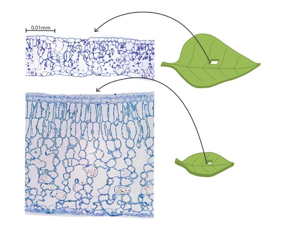 Transverse cross-section of a very thin sunflower leaf (Helianthus annuus) to a thick tea leaf (Camellia sasquana). Along with total leaf thickness and leaf area, the leaves differ dramatically in cell size and in the thickness of cell walls according to specific mathematical equations newly discovered by the UCLA research team.
