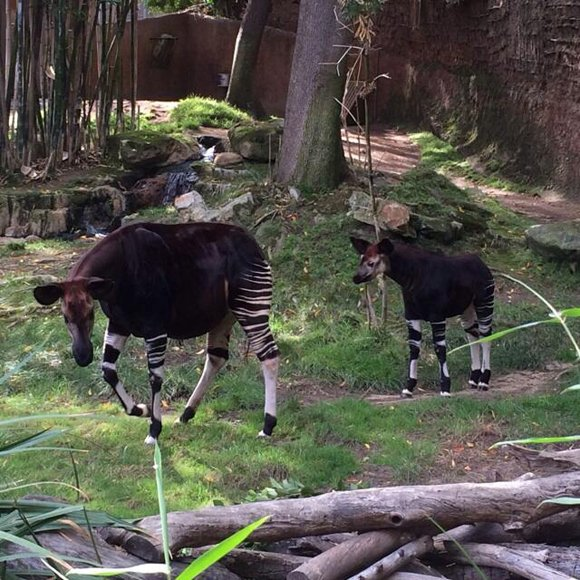 A baby Okapi calf made its first public appearance at the Los Angeles Zoo this week after bonding with his ...