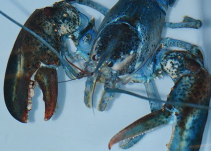 Toby, the blue lobster comes to the National Aquarium