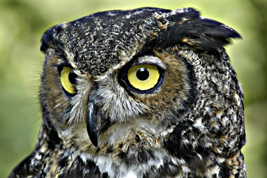 """Fans of the mysterious all-seeing, all-hearing owl can learn more about the feathered creatures at """"Owls, the Symbol of Wisdom ..."""