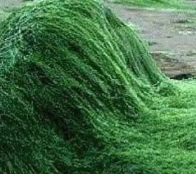 Chlorella, an algae plant, is often called nature's multivitamin. (Courtesy of wolfsonintegrativecardiology.com)