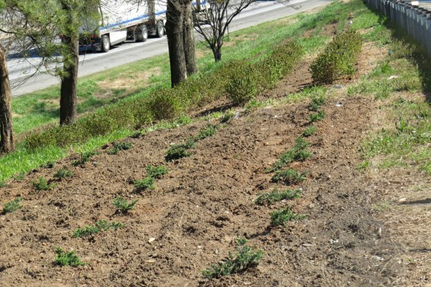 ArtScape began installing plants on the Bouldercrest Road ramps a week before the county's March 14 ground breakings.