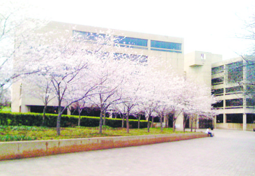 Residents and school officials said the National Cherry Blossom Festival has brought new found recognition to the University of the ...