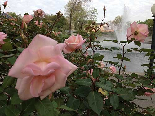 Now is a great time to tour the many rose gardens around your City as roses are coming into bloom ...