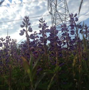 BGE and the University of Maryland worked together to preserve the rare sundial lupine from extinction. Now, the lupines, along with more than 50 other rare and endangered plants, are flourishing on BGE rights-of-way.