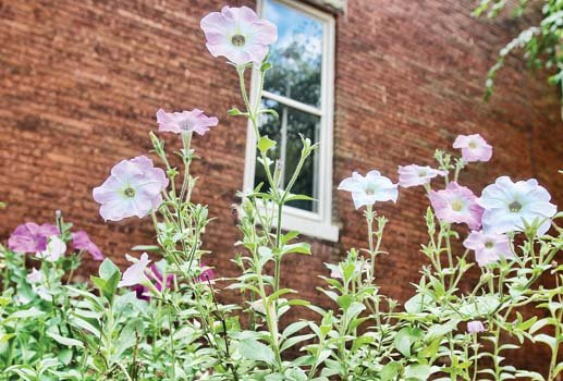 Petunias stand tall in Church Hill