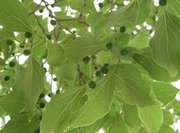 Close-up view of a hackberry tree's leaves and berries.