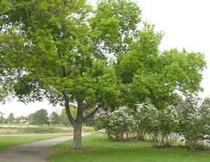 Nominate the tree you think is the largest; the winner will be announced by Arbor Day and will receive a ...