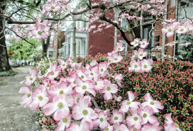 Dogwood flowers branch out in Church Hill