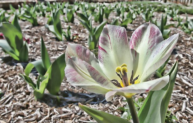 Sprouting tulip in the West End