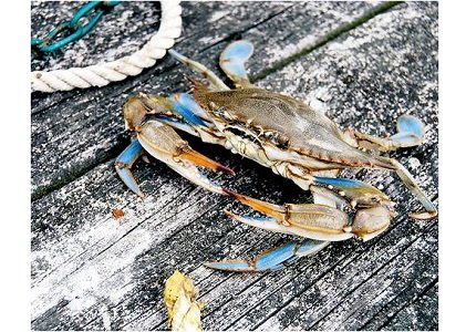 The Maryland Department of Natural Resources recently released the 2015 Blue Crab Winter Dredge Survey results, which showed the abundance ...