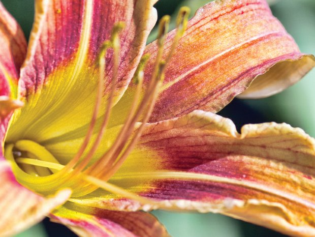 Bright face of a daylily in South Side