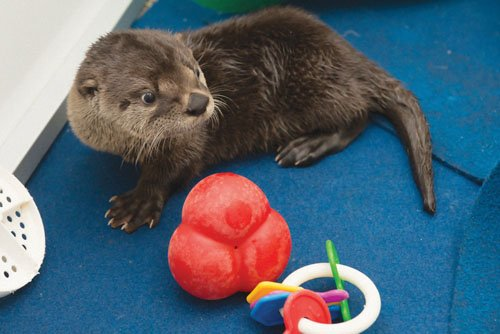 A boisterous, squeaky river otter pup, orphaned last month near Cottage Grove, has just taken up residence at the Oregon ...
