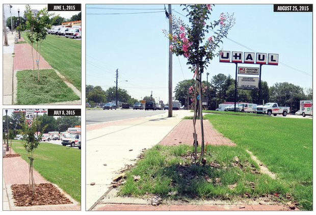 After complaints about the poor execution of the plantings, county workers dumped wood chips in the tree boxes without removing the grass. Weeks later, the grass had once again overrun the crape myrtles.