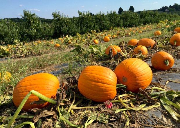 Pumpkins ready for Halloween.