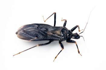 Chagas disease -- the third most common parasitic infection in the world -- affects approximately 7.5 million people, mostly in ...