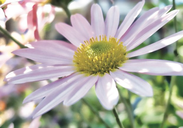 Autumn daisy in South Side