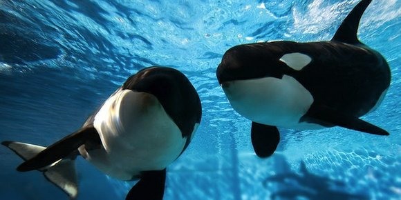 The killer whales currently in SeaWorld's care will be the last generation of the mammals enclosed at the water parks, ...
