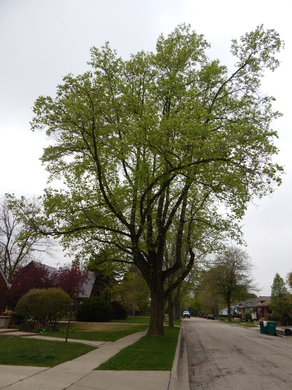 Now in its tenth year, the contest emphasizes the importance of mature trees in the suburban landscape.