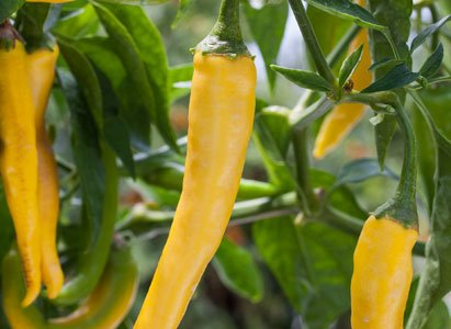 Don't be afraid to add a little spicy heat to your meals this season by growing a few hot peppers ...