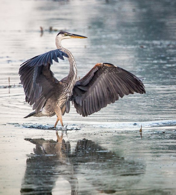 A photo by Alan Keahey of Naperville of a great blue heron is the July winner in the Forest Preserve ...