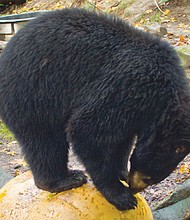 Takoda plays on a giant pumpkin at the Oregon Zoo's Black Bear Ridge. The zoo gets a head start on Halloween with special events for the animals and trick-or-treat visitors on Saturday, Oct. 29 and Sunday, Oct. 30.