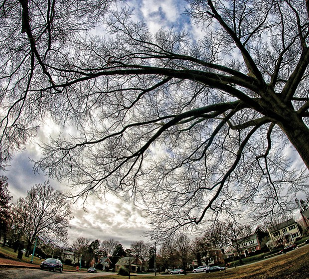 Expansive pin oak in South Side