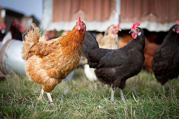 A new rule that aims to safeguard essential antibiotics for humans by limiting their use in food animals is now ...