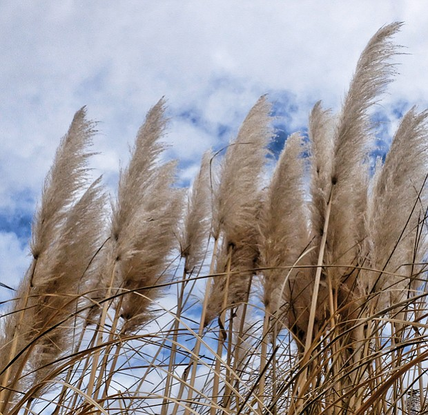 Ornamental grass in North Side