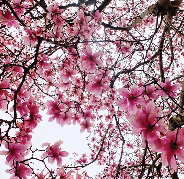 Blooming saucer magnolias