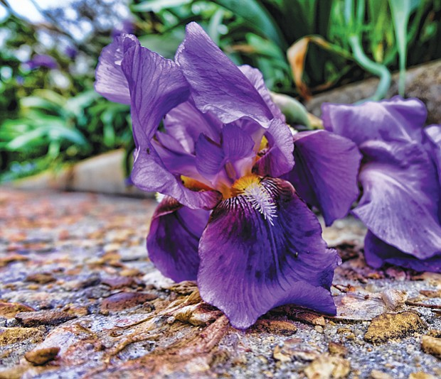 An iris in South Side